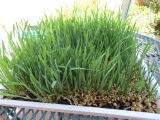 How to grow healing Wheatgrass